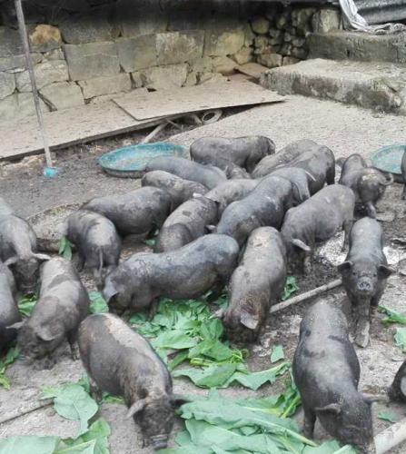 生猪市场后市能否大涨?畜牧交易猪价又会怎么演变?