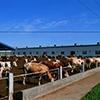 大型养牛场牛粪处理方法