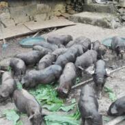 母猪产后保健如何进行?