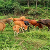肉牛疾病怎么预防?