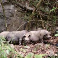 40到50斤的猪怎么喂养