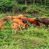 如何预防治疗牛腐蹄病?