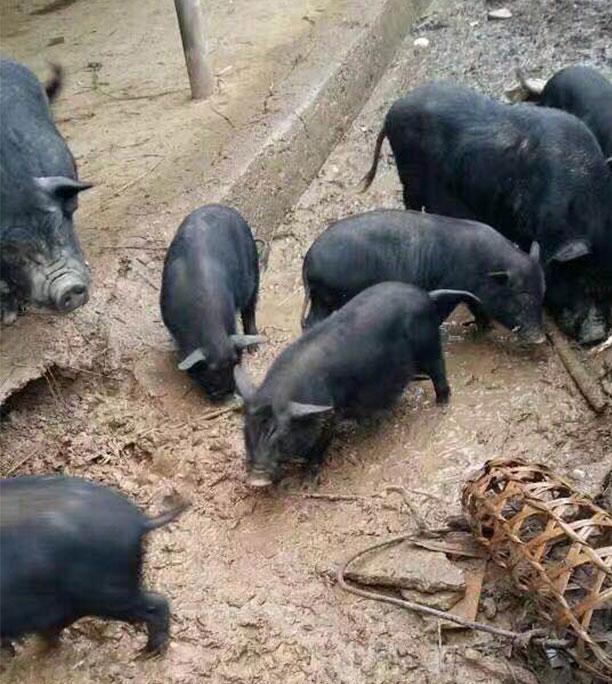 生态黑猪肉