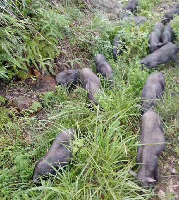 生态土猪肉