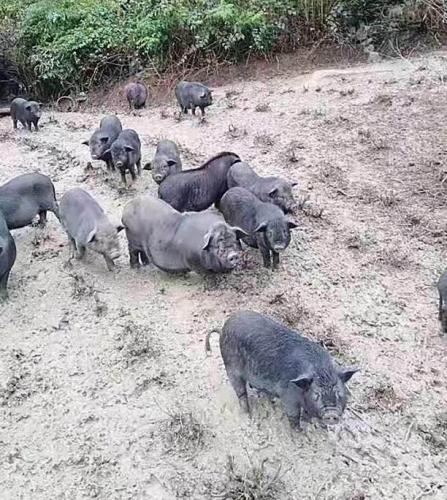 云南生态猪