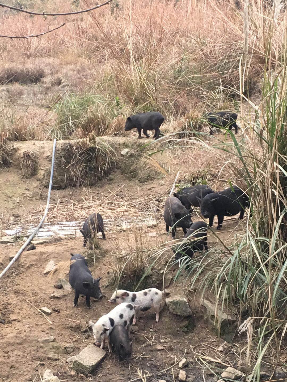 畜牧交易猪价